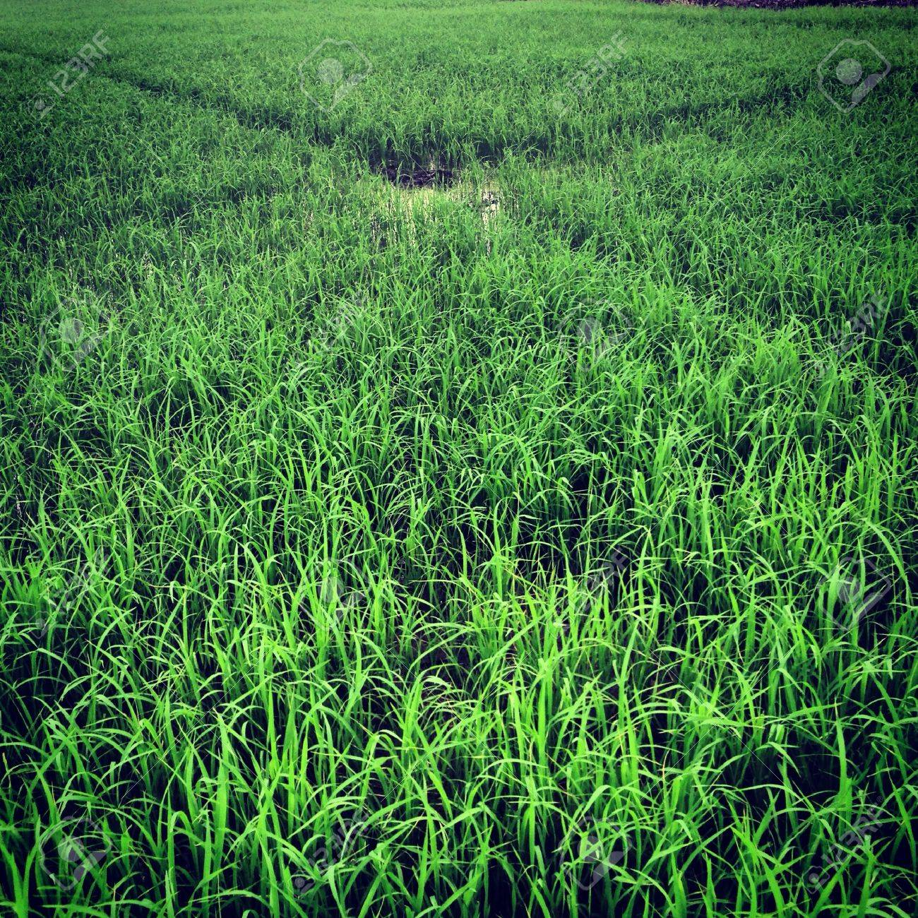 The green rice field in the countryside - 21342194