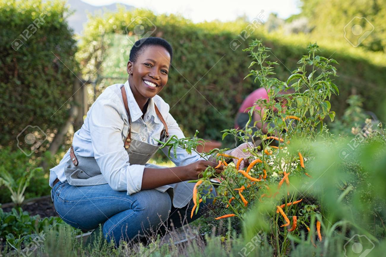 Portrait of mature woman picking vegetable from backyard garden. Cheerful black woman taking care of her plants in vegetable garden while looking at camera. Proud african american farmer harvesting vegetables in a basket. - 124983197