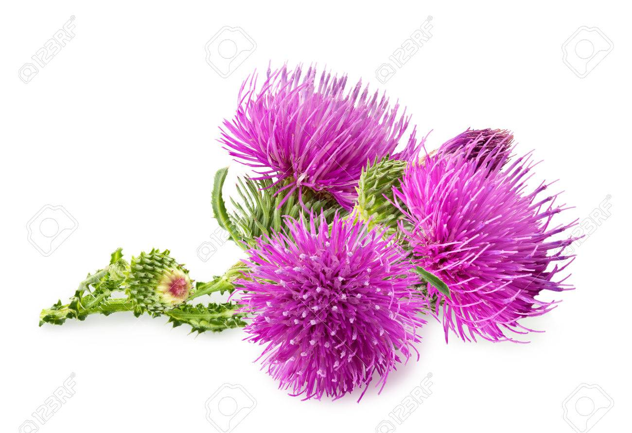 Purple flower of carduus with green bud isolated on a white background. Design element for product label, catalog print, web use. - 64665357