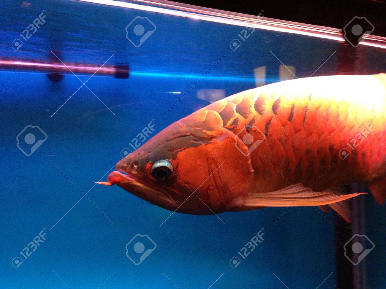 Arwana Fish Is Only Can Be Found In Kalimantan Indonesia