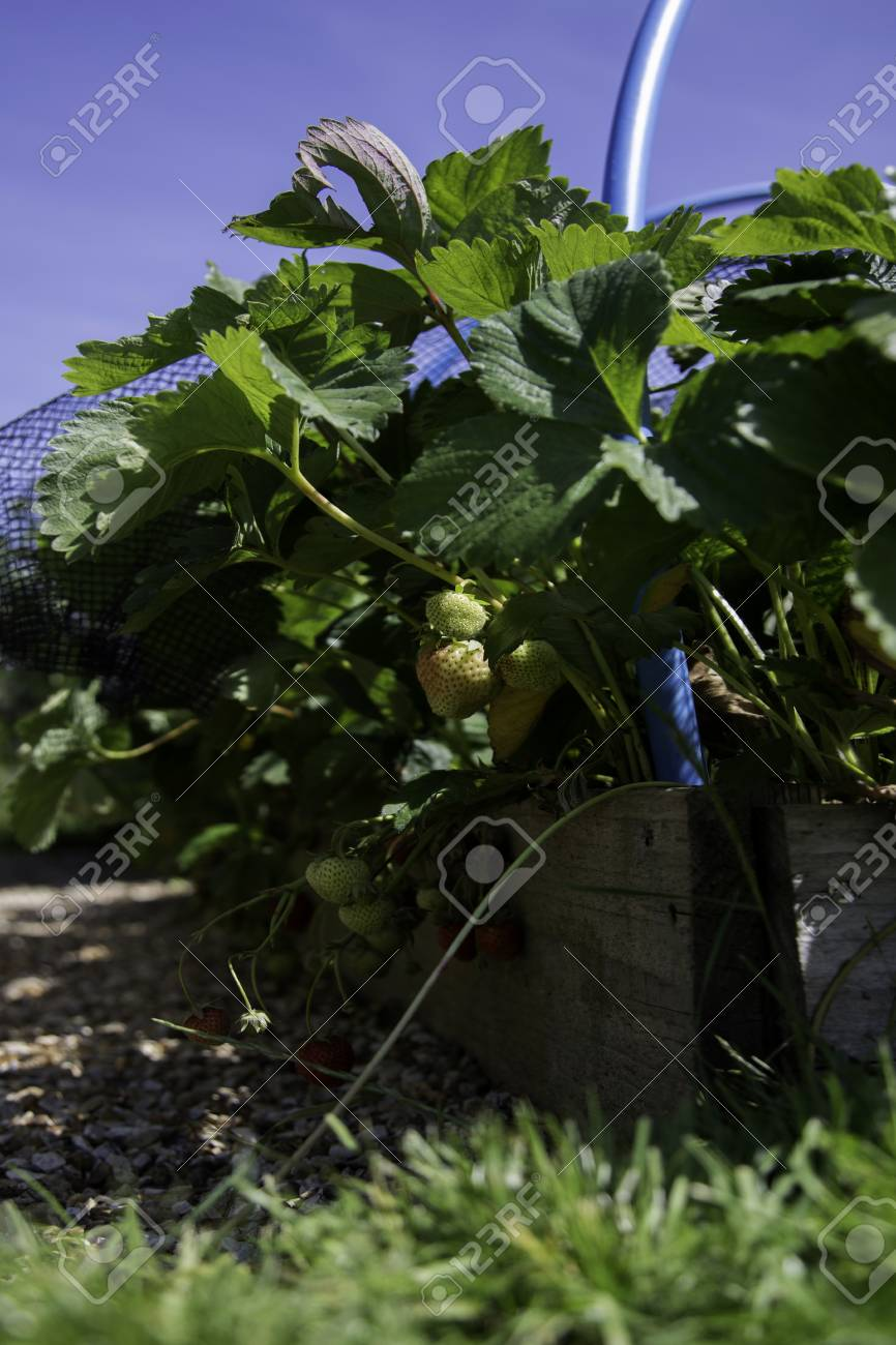 Strawberry Plants Growing In A Raised Bed In A Garden With Unripened