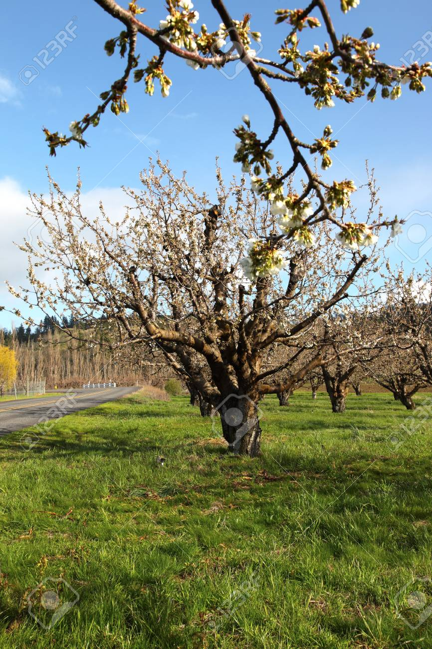 Cherry farm orchard near Hood River OR. Stock Photo - 9599312