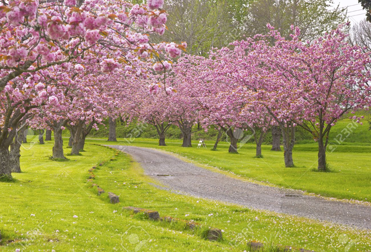Spring Blooms Pink Trees In A Park Oregon Stock Photo Picture