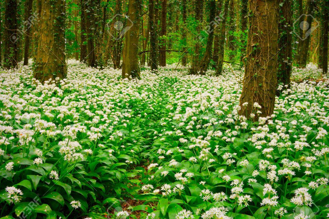 Spring Forest With Multiple White Wild Flowers Ireland Stock Photo