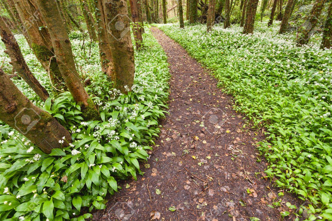 Spring Forest With White Wild Flowers Ireland Stock Photo Picture