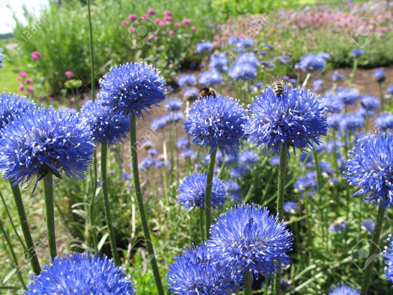 Banque d\u0027images , un champ des fleurs bleues
