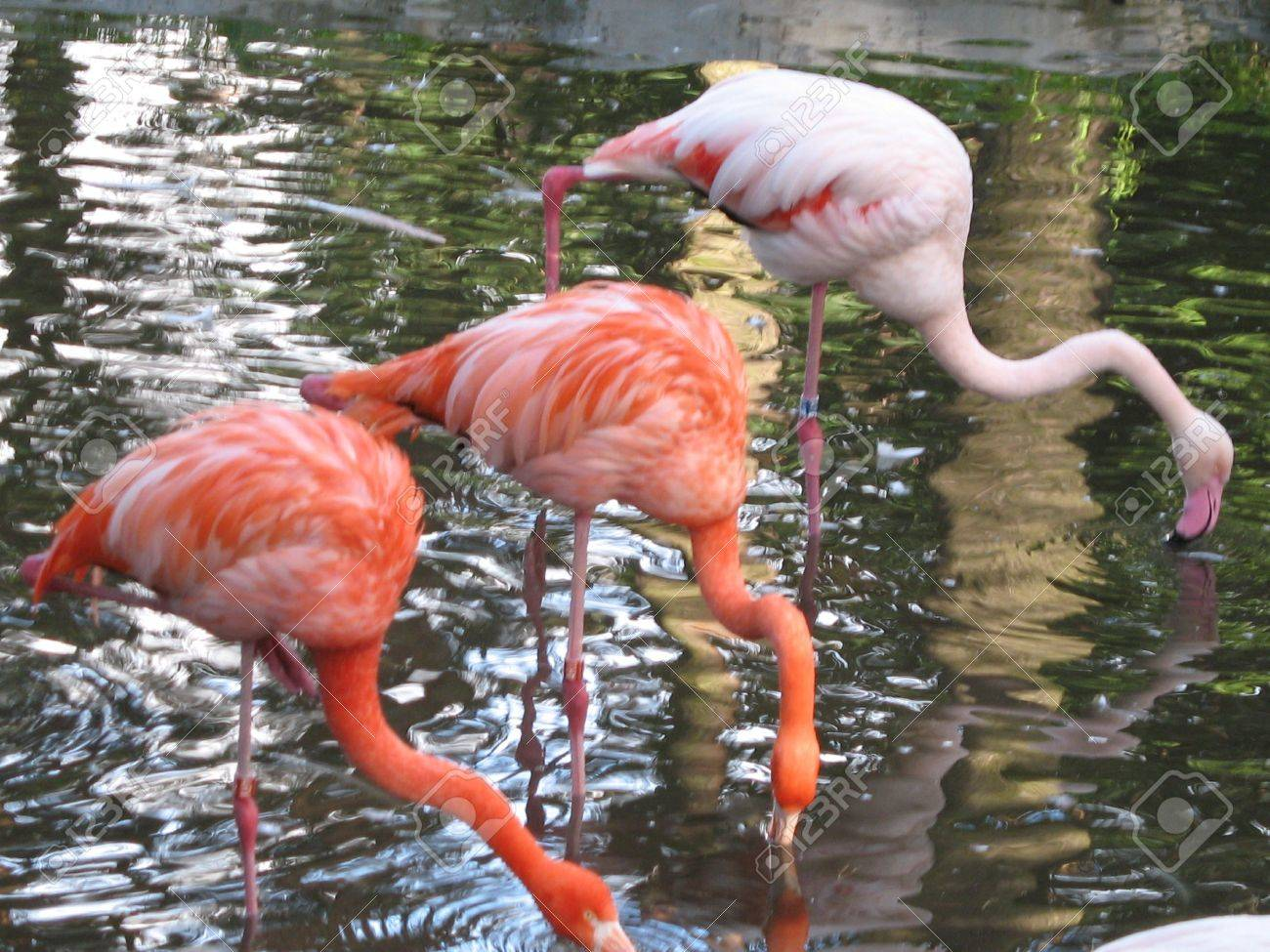 flamingos in the pond Stock Photo - 2181644