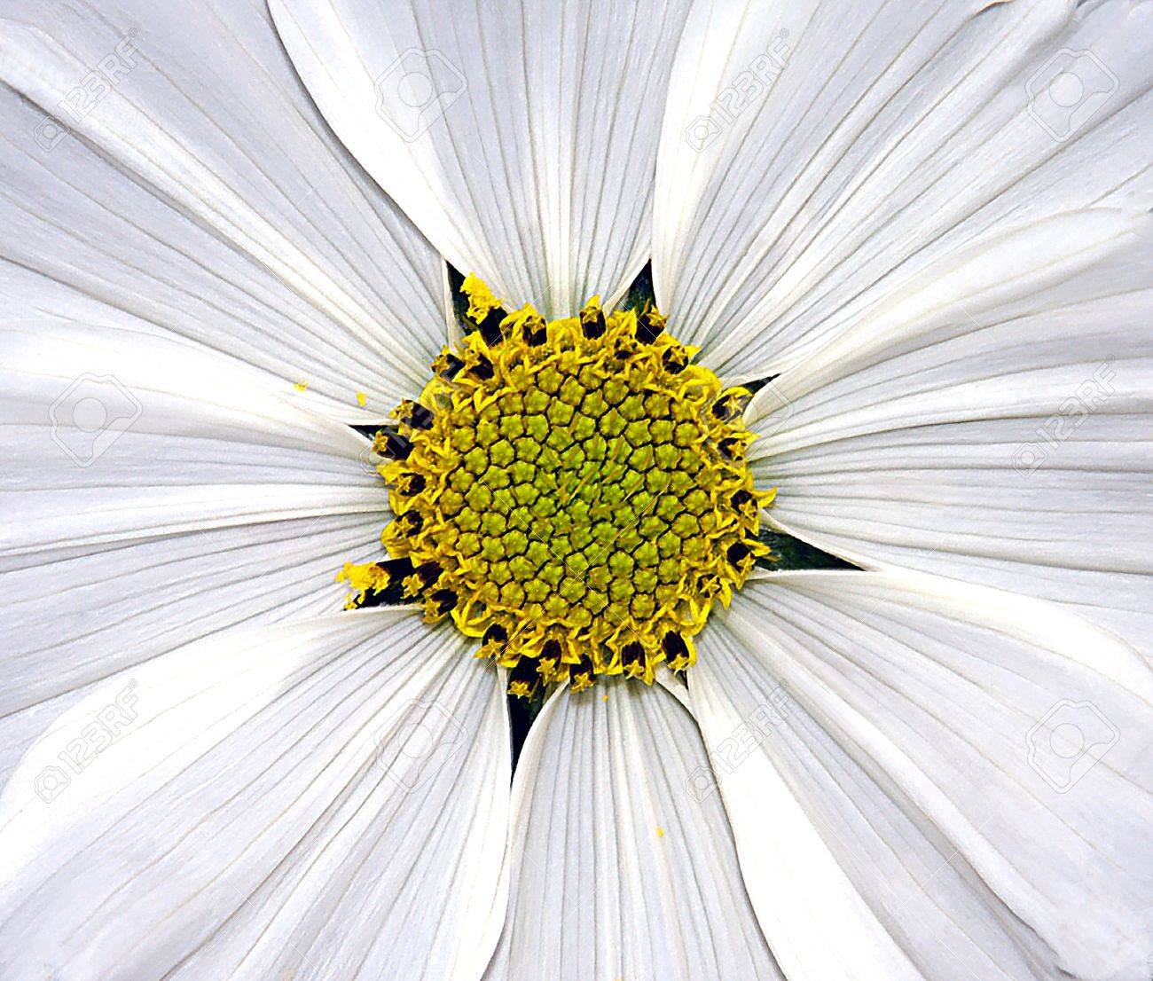 Close Up Image Of White Cosmo Flower Stock Photo Picture And