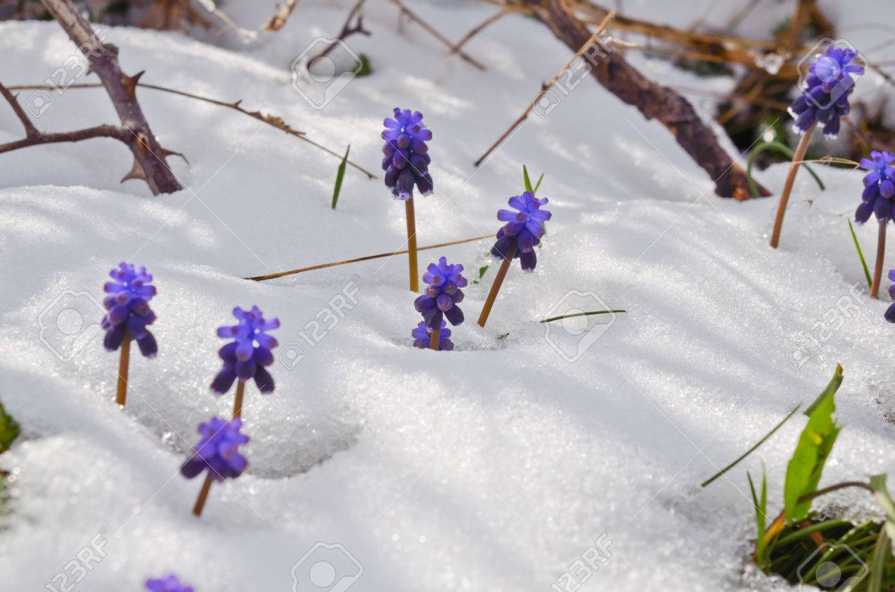 Purple Flowers In Snow In Spring Stock Photo Picture And Royalty