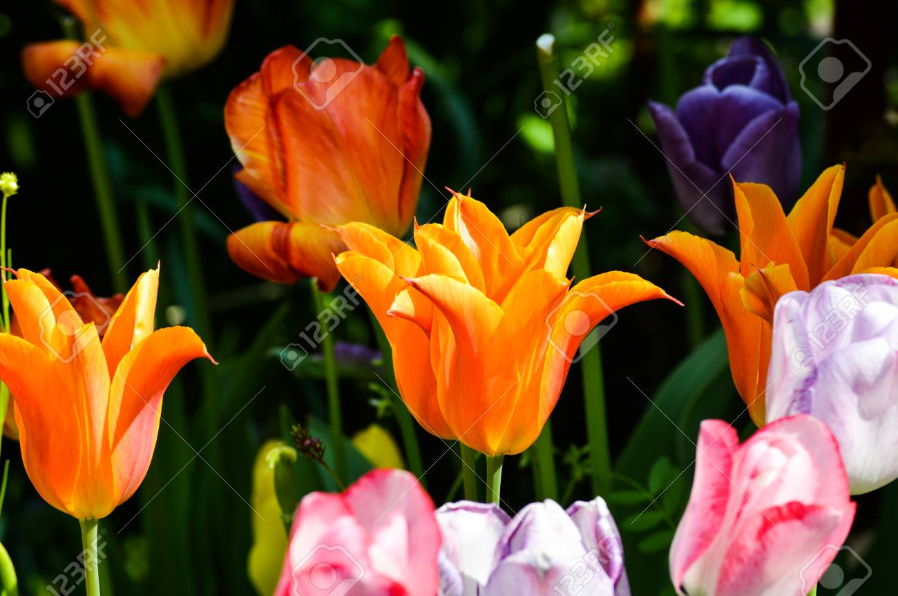Beautiful Tulip Flowers Stock Photo Picture And Royalty Free Image