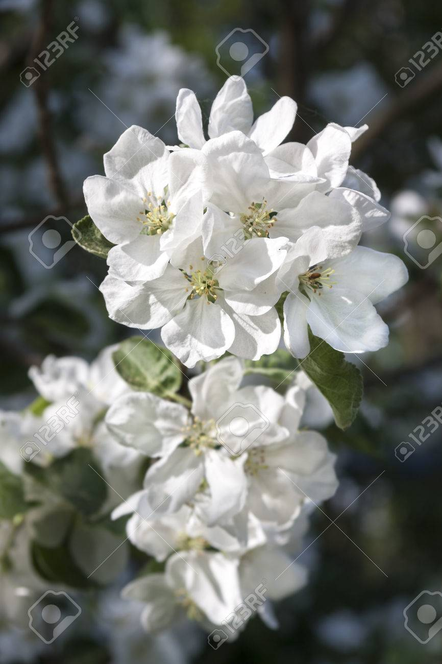 White blossoms of a blooming apple tree at spring royalty free stok stok fotoraf white blossoms of a blooming apple tree at spring mightylinksfo