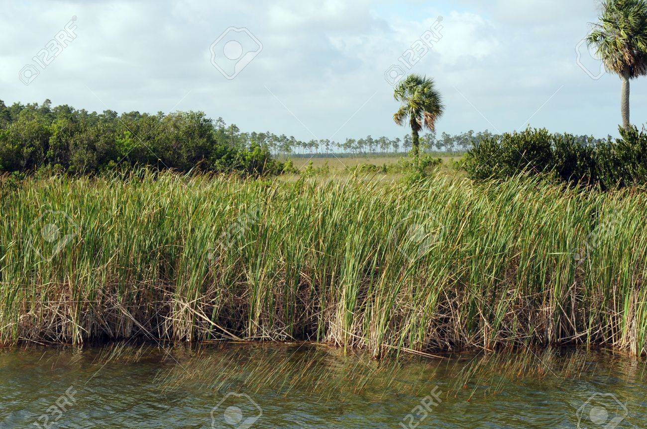 Colorful Everglades Sawgrass With Palm Trees In Background Stock ...