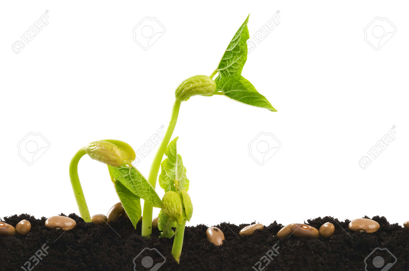 Germinating bean seed in soil against white. Stock Photo - 6377575