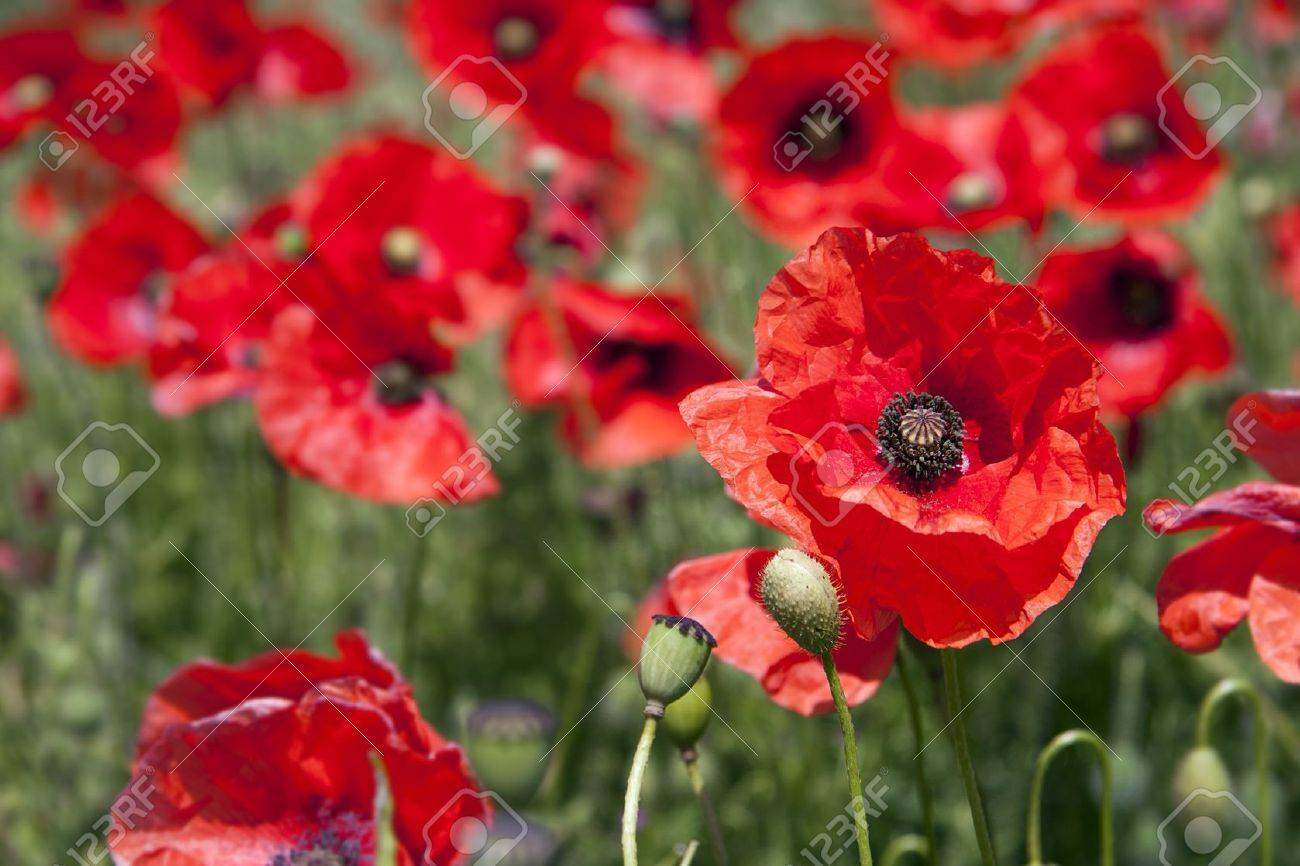 a close up of a poppy in a field intentional shallow depth of