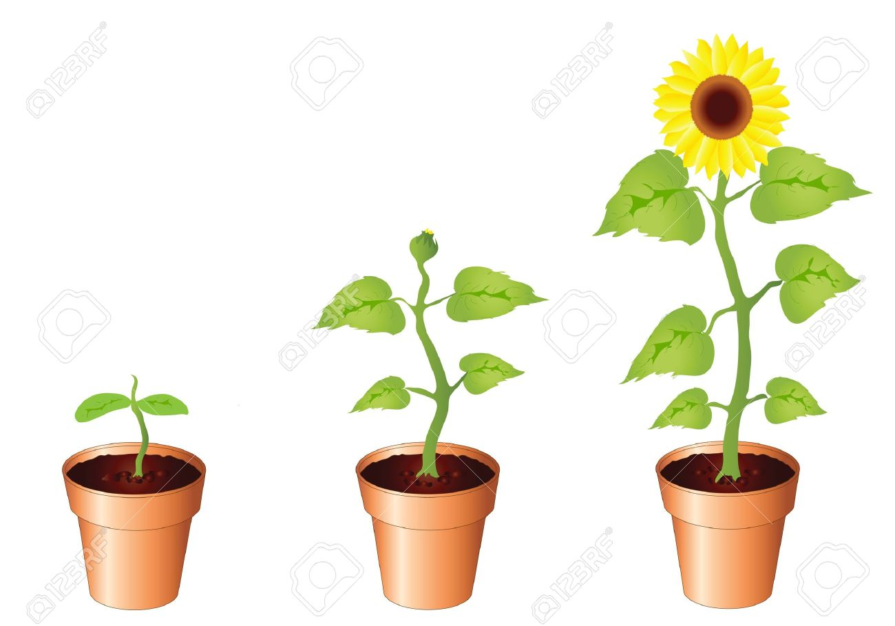 Image result for sunflower growing