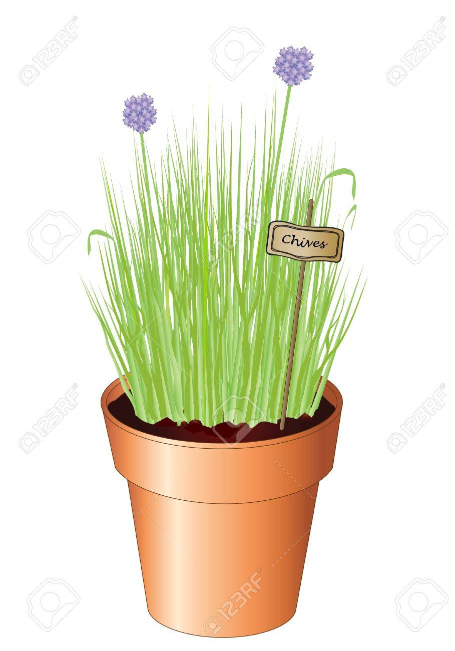 Vector illustration of potted chives isolated on white ackground. Also available as jpg. Stock Vector - 10877231