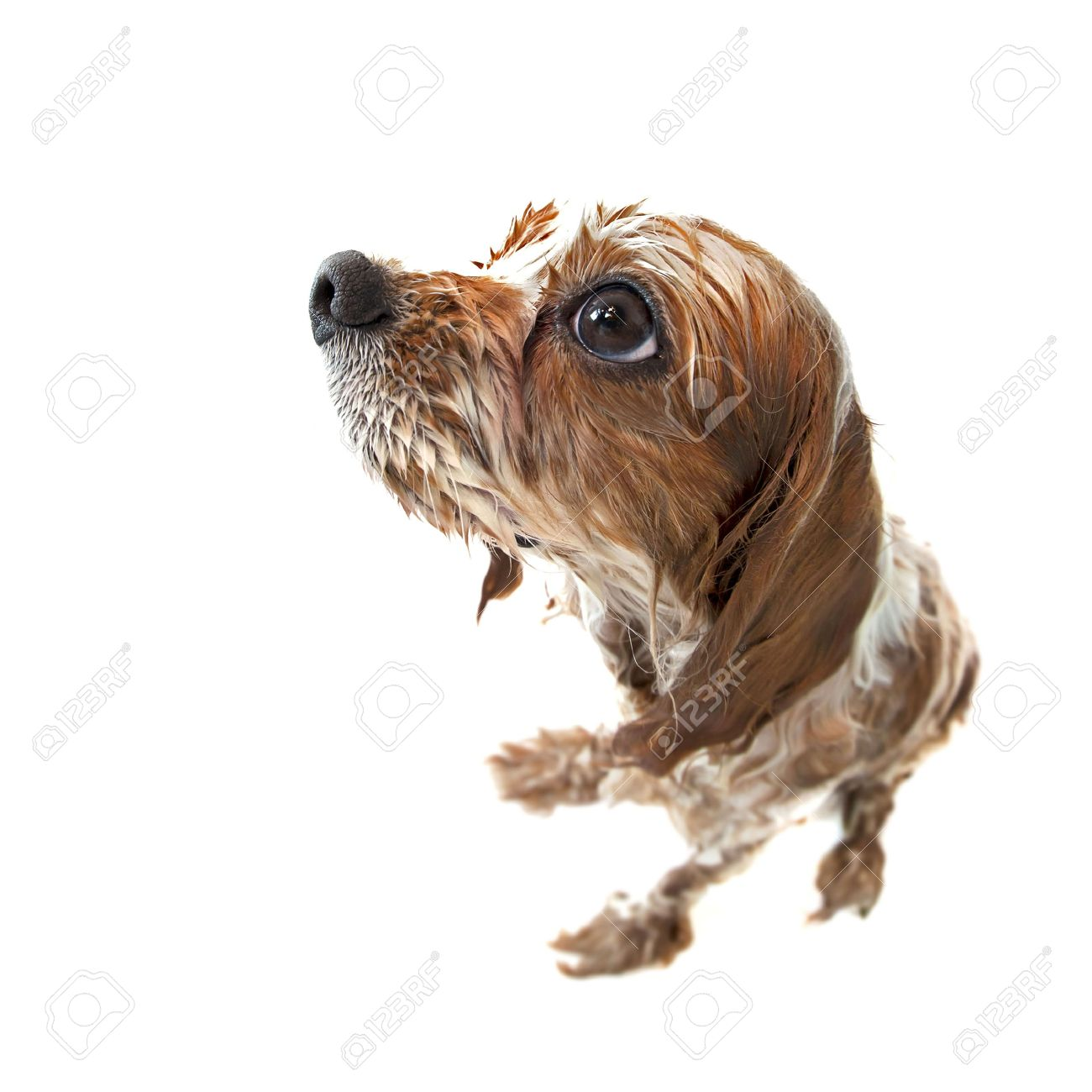 Fisheye shot of Archie the Blenheim Cavalier King Charles spaniel pup taking a bath. Wet dog isolated on white. Stock Photo - 18936400