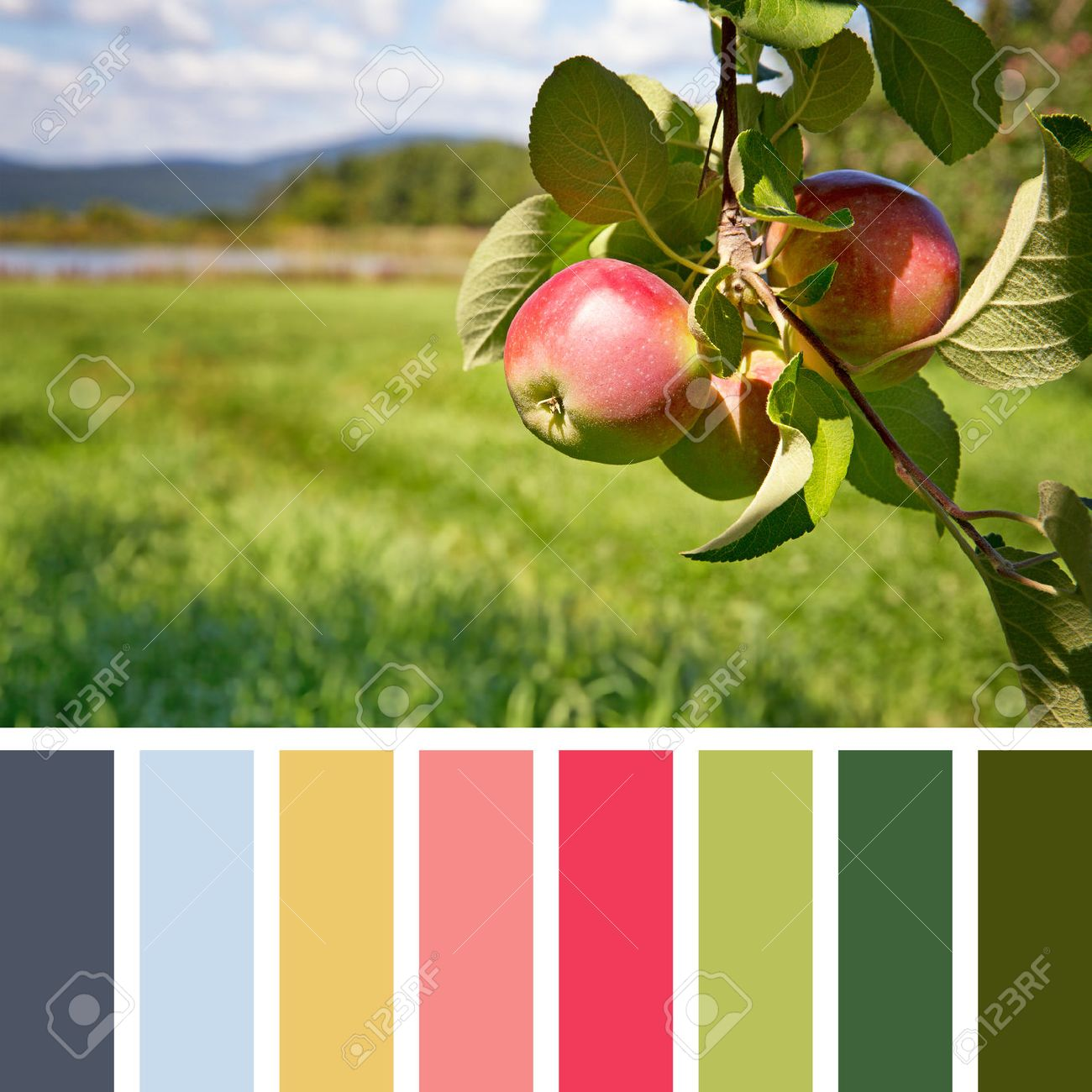 Ripe Apples Hanging From A Tree In An Orchard, In A Colour Palette ...