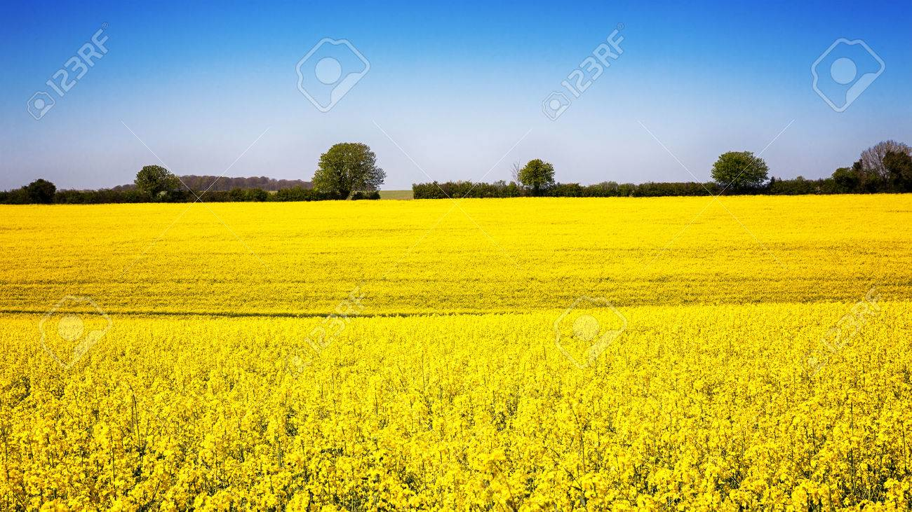 A Panorama Of A Field Of Yellow Rape Or Canola Flowers Grown