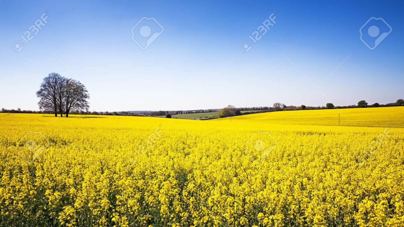 A panorama of a field of yellow rape or canola flowers grown a panorama of a field of yellow rape or canola flowers grown for the rapeseed mightylinksfo