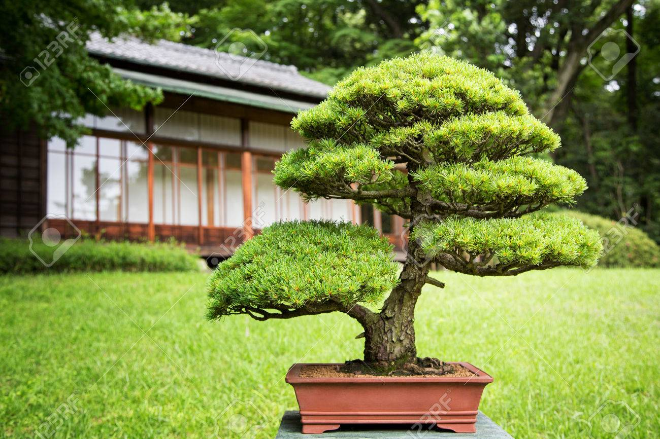 Bonsai Tree In A Japanese Garden With Traditional Design Building In  Background. Stock Photo