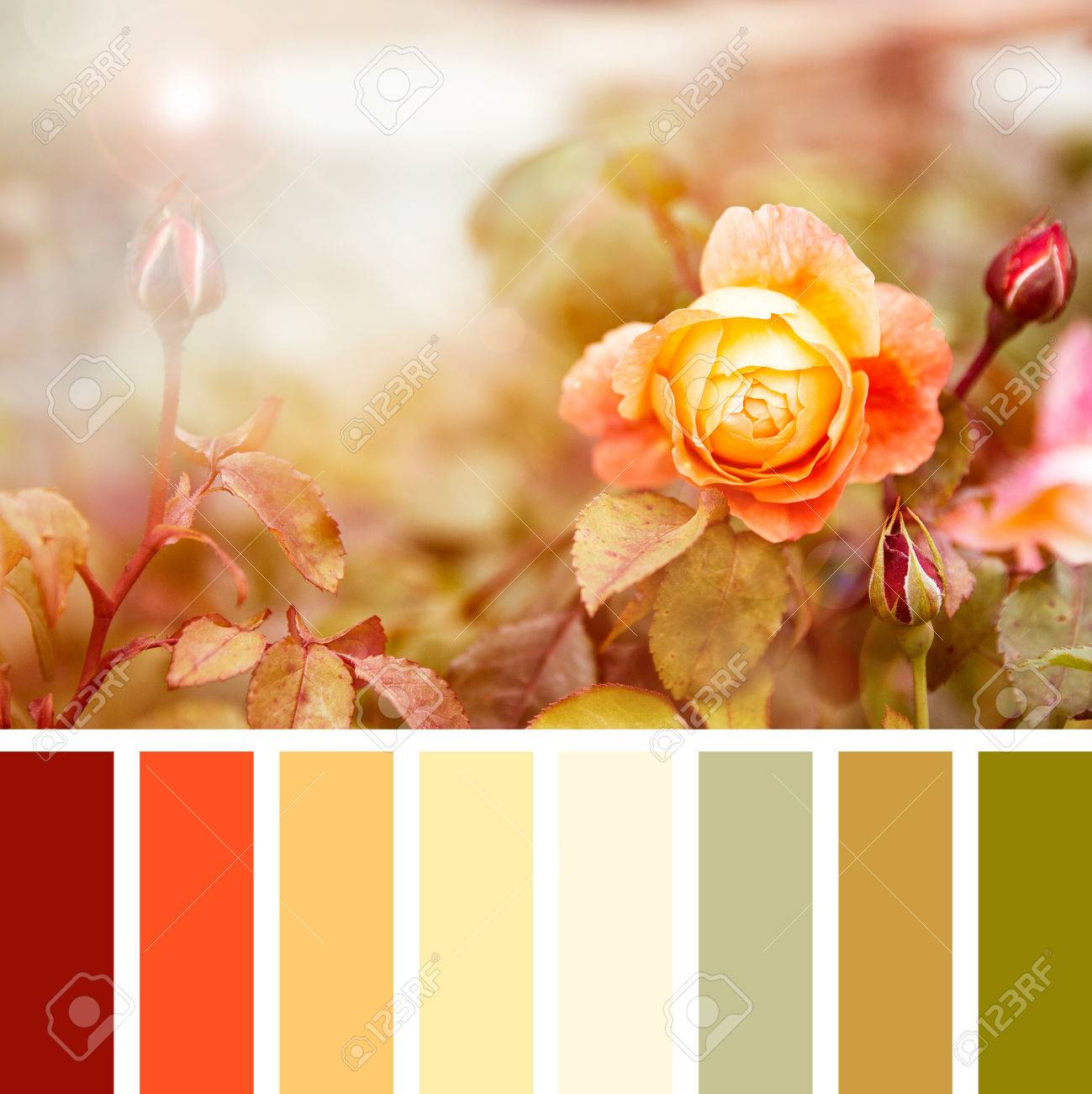 Yellow And Red Roses In Sunlight In A Colour Palette With