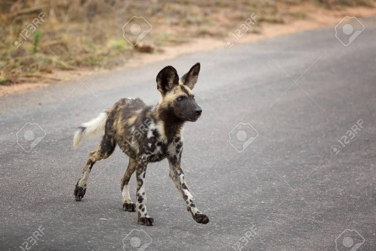 Chien Peint chien sauvage africain ou chien peint africain, vue de côté, parc