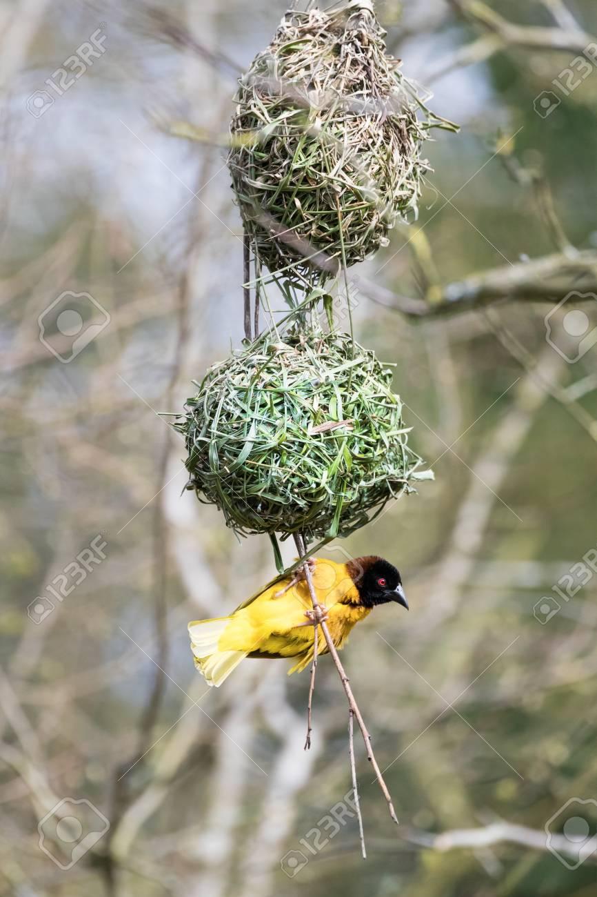Male Black Headed Weaver Bird Building A Nest Stock Photo