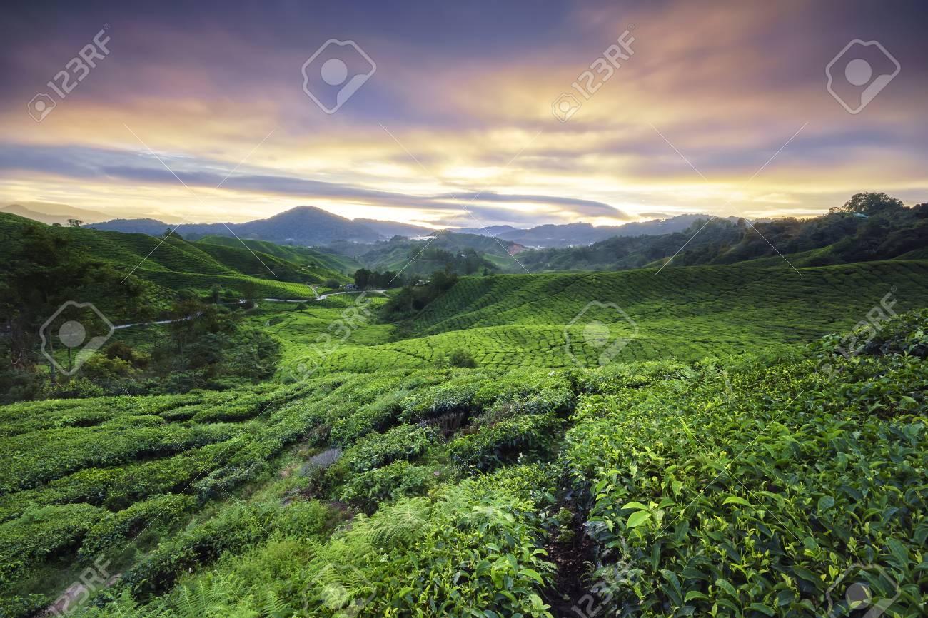 sungai palas 茶畑キャメロンハイランド マレーシアのパハンの劇的な