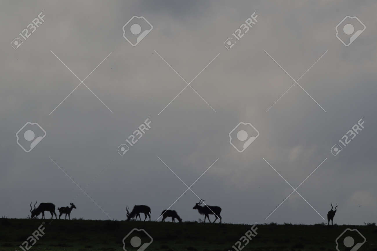Silhouette of kudus, an antelope species of African, on the ridge against the grey morning sky in Addo Elephant National Park, South Africa. - 155184448