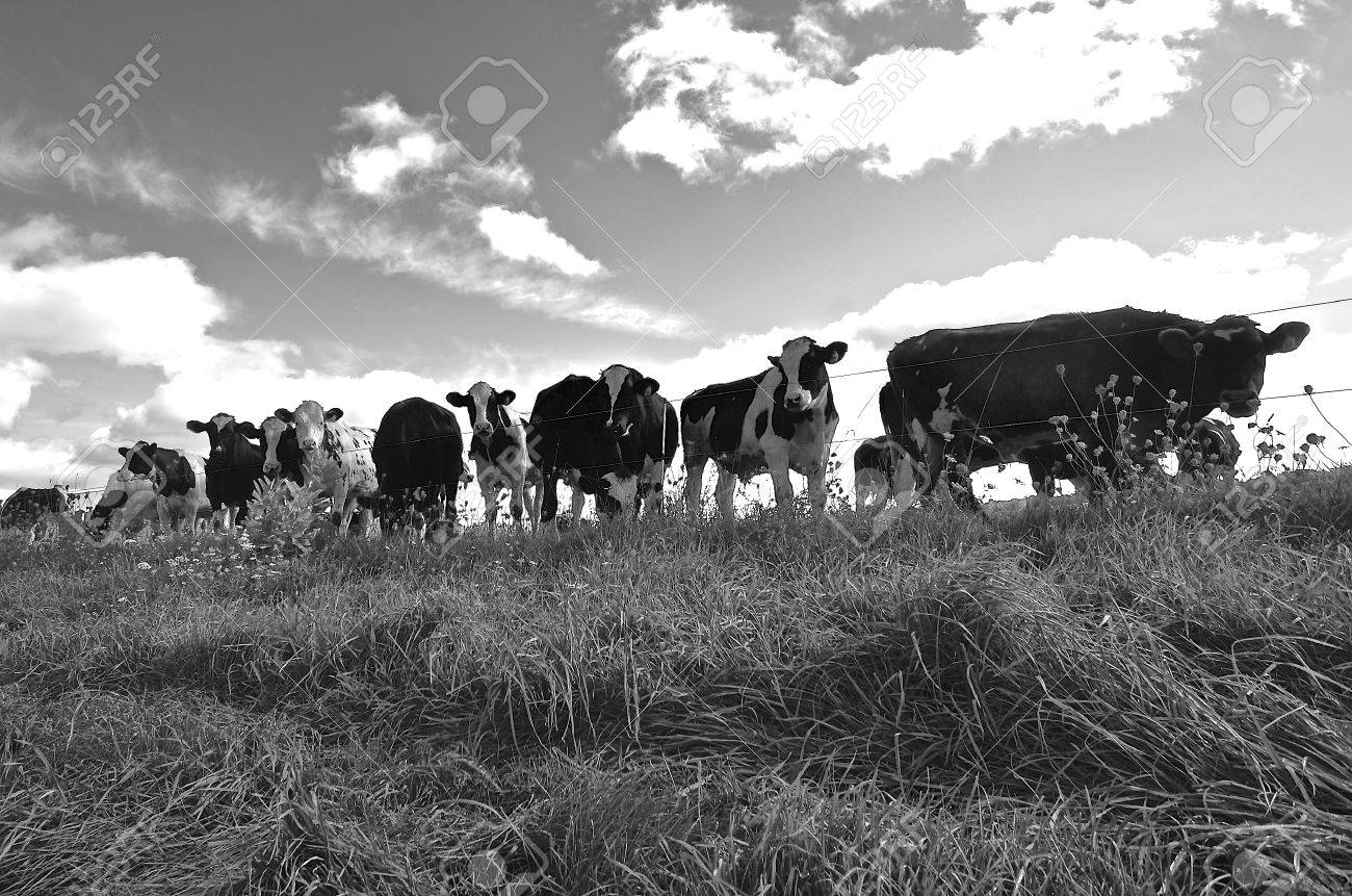 A Herd Of Cows In A Pasture Are Against A Barbed Wire Fence. Stock ...