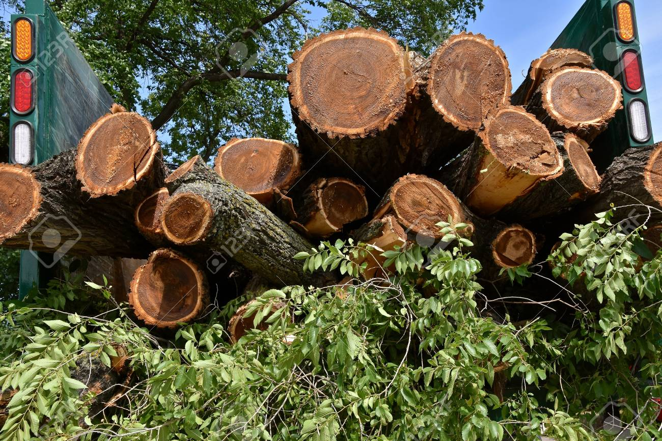 A Load Of Freshly Cut Elm Logs From A Tree Cutting Service Are