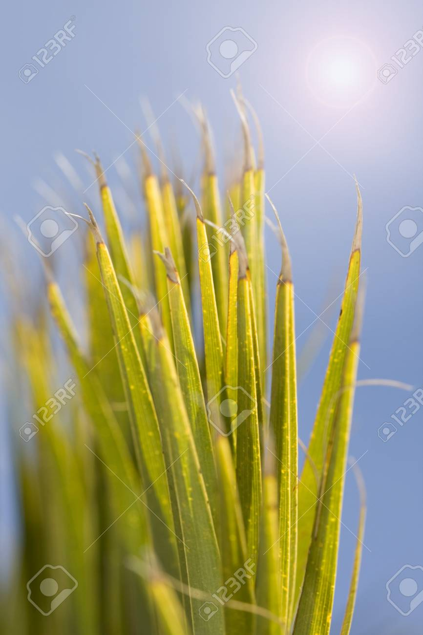 Detail tropical palm tree leaf, shallow DOF Stock Photo - 4388245