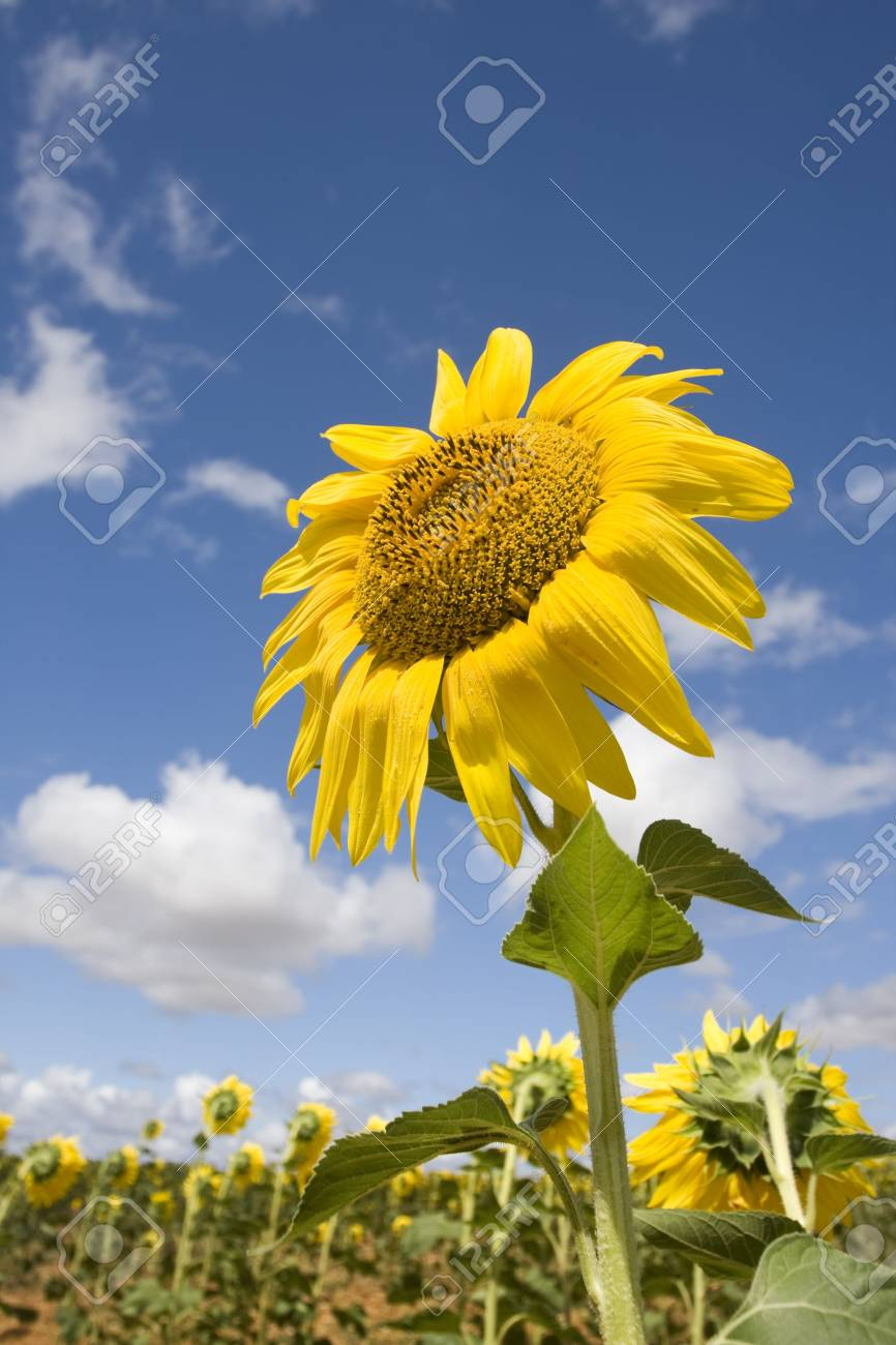 Bright yellow flower of a sunflower at a farm on a background of cloudy blue sky in a sunny day (summer season). Close up Stock Photo - 6801263