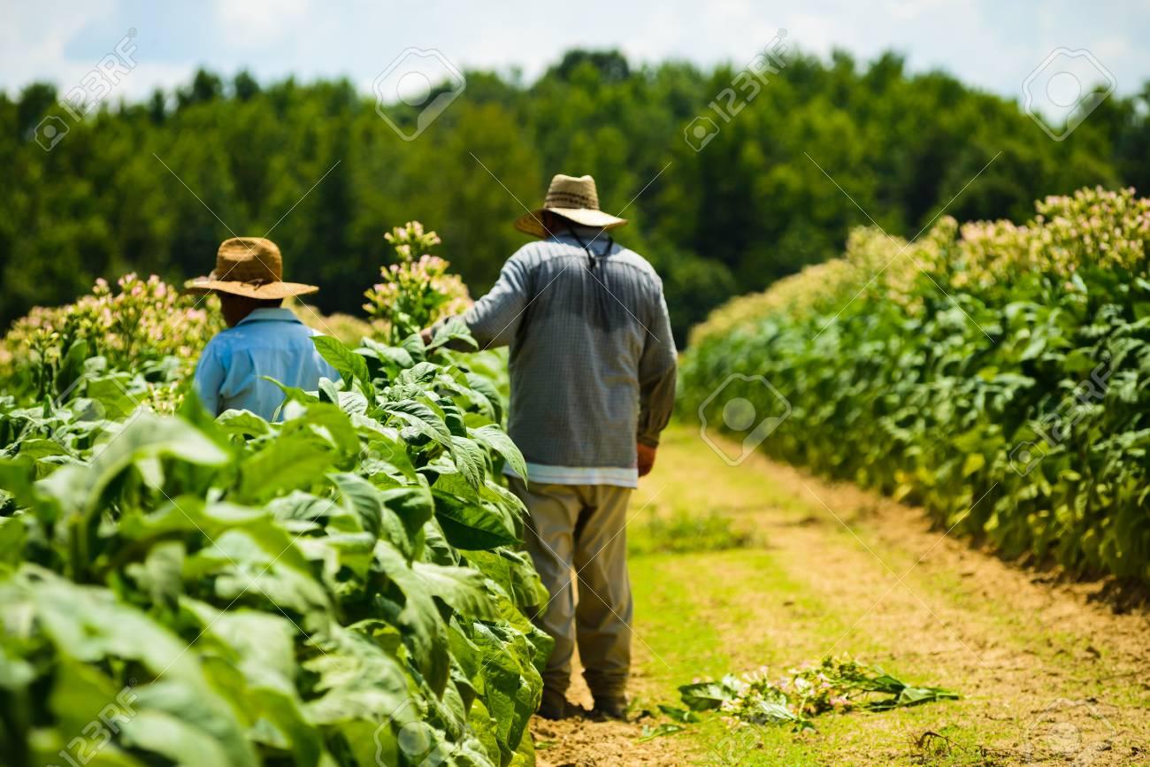 Migrant men tending tobacco crop in Pittsylvani County , Virginia. - 104593766
