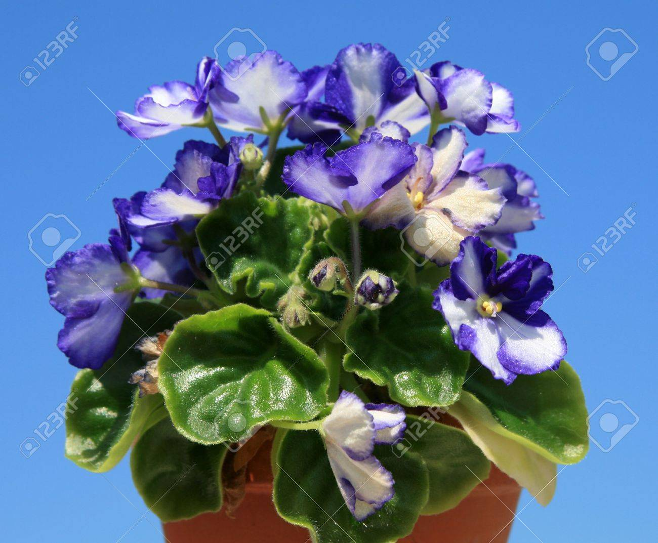 Potted African violets against a blue sky background Stock Photo - 1354492
