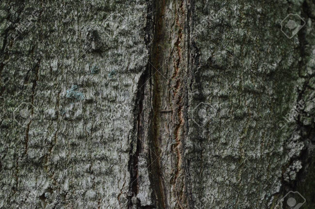Sugar Maple Or Acer Saccharum Bark Stock Photo Picture And Royalty