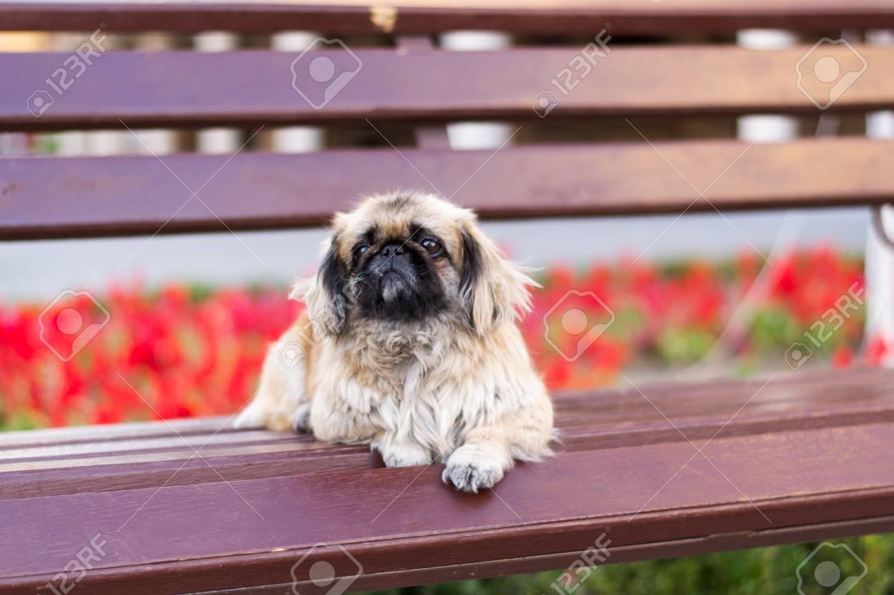 Amazing Small Dog Pekingese Sitting Alone On A Bench Frankydiablos Diy Chair Ideas Frankydiabloscom