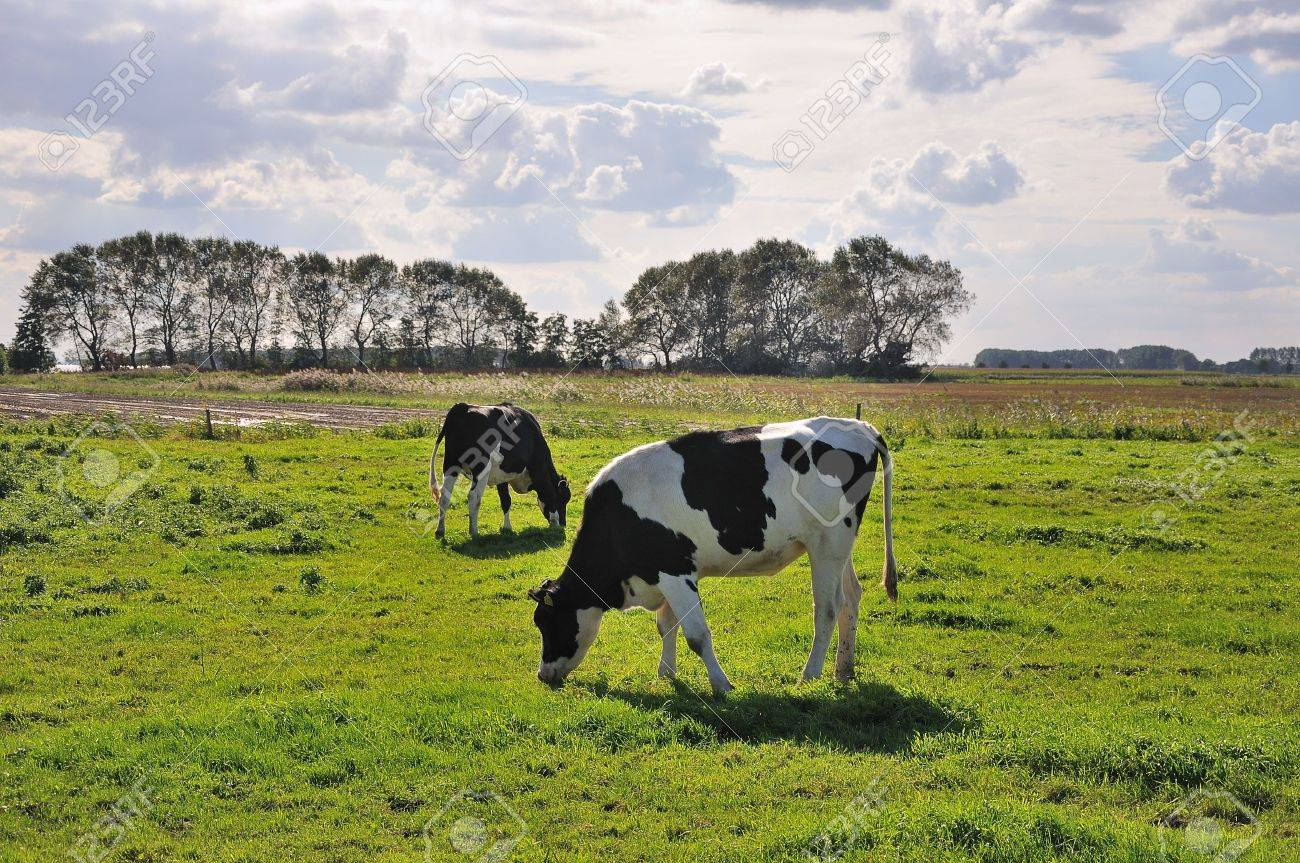 Sunny landscape with meadow, black and white cows, blue sky with clouds and trees Stock Photo - 8729033