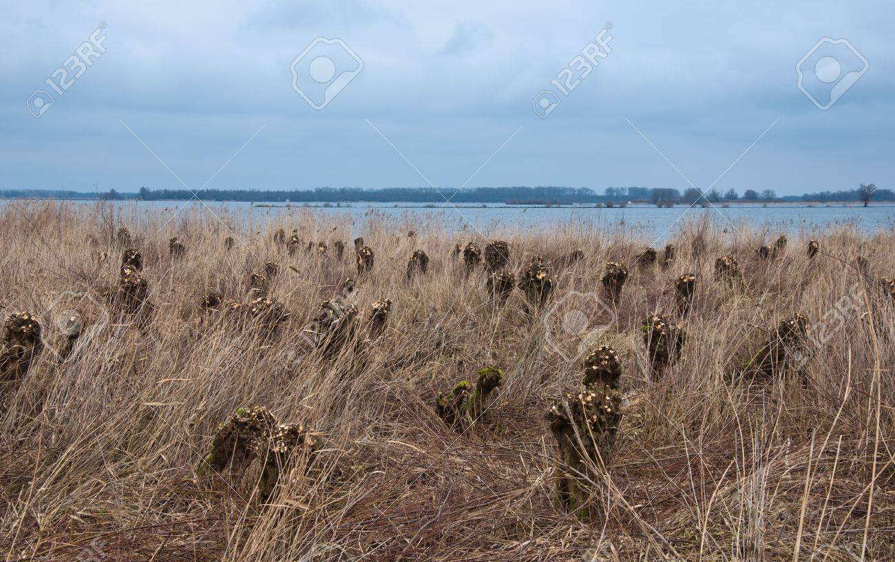 Pollarded willows in a floodplain Stock Photo - 9294785