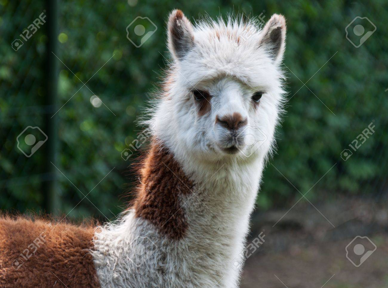 Portrait of brown and white Llama Stock Photo - 9606069