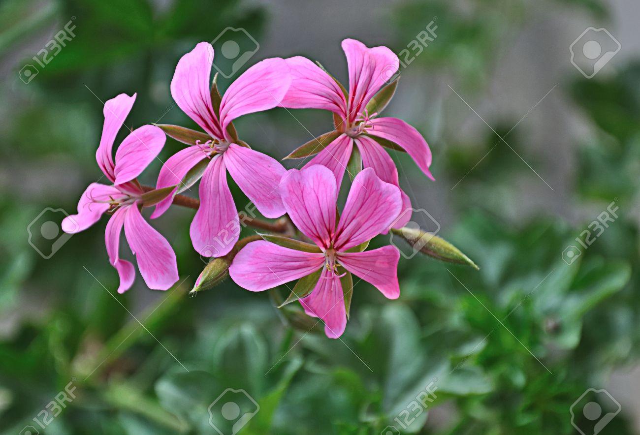 Close up of a fuchsia colored flowering Hanging Pelargonium (Pelargonium Peltatum) Stock Photo - 9640985