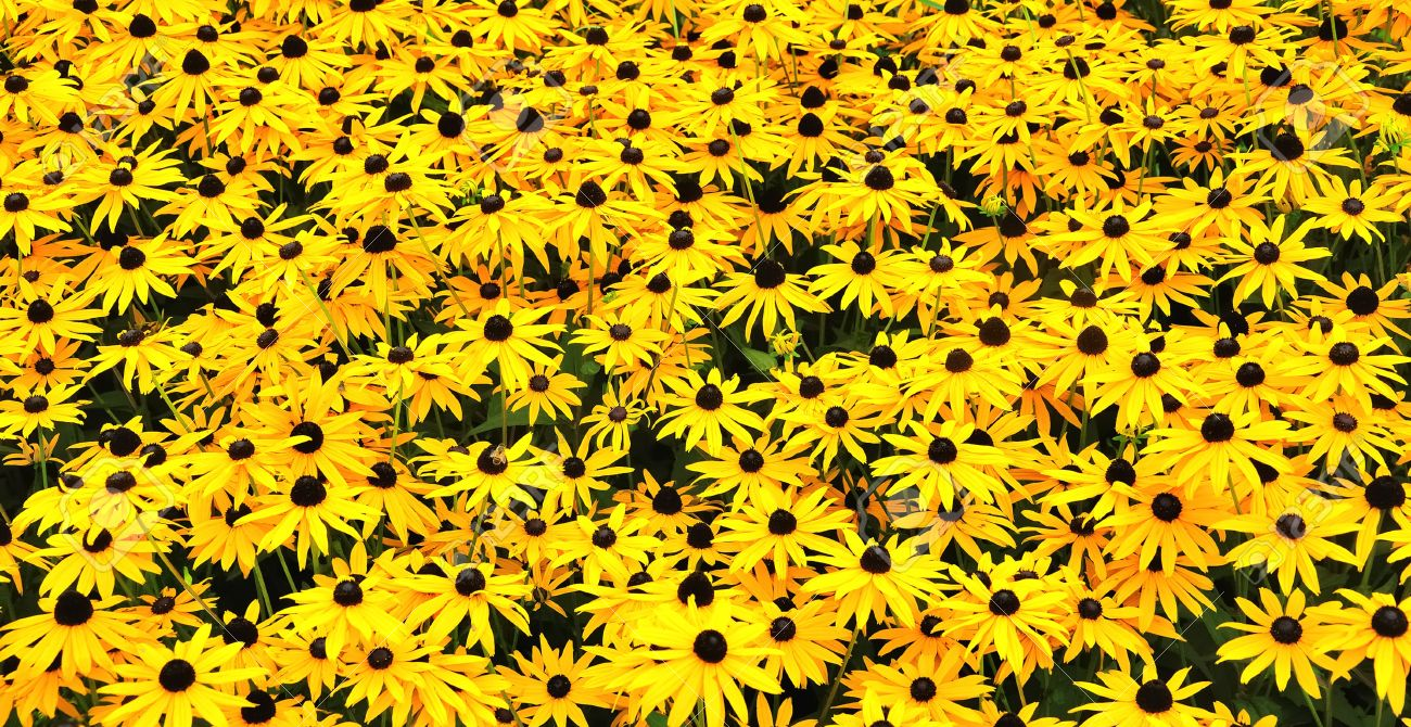 A Sunny Field With Black Eyed Susans Stock Photo Picture And