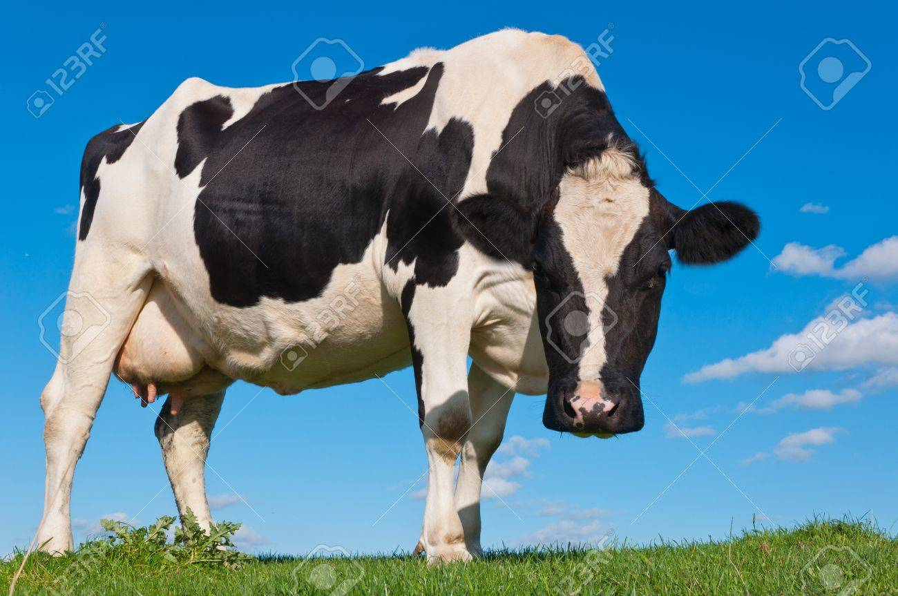 Black spotted cow standing on an embankment in the Netherlands against a blue sky Stock Photo - 10590988