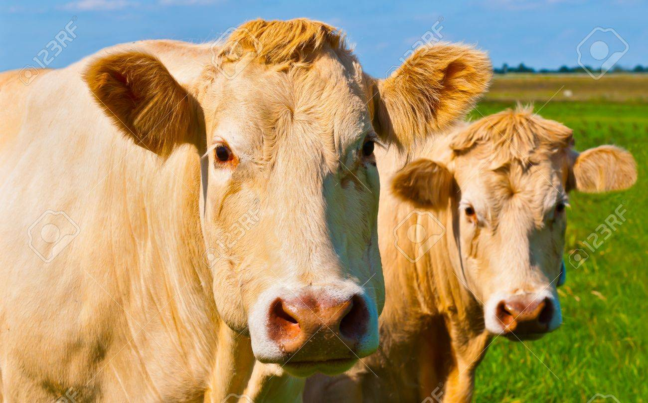 Portrait of two light brown cows posing in a sunny meadow in the Netherlands Stock Photo - 10977534