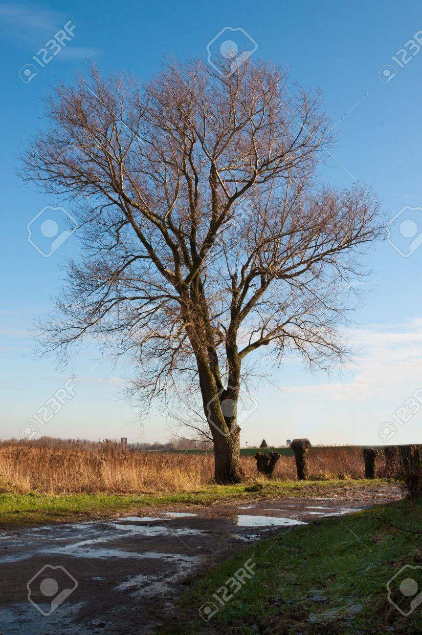 Dutch landscape with a bare tree, pollarded willows and puddles on the field. The winter begins. Stock Photo - 11768404