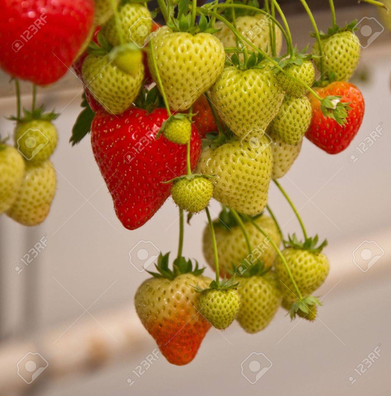 In A Greenhouse The Cultivation Of Hanging Strawberry Plants ...