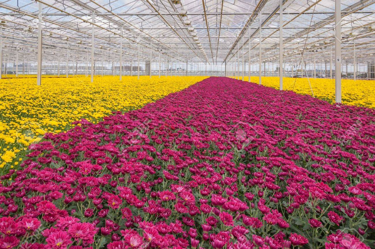 Advanced Dutch greenhouse with colorful Chrysanthemums ready for harvest Stock Photo - 13253802