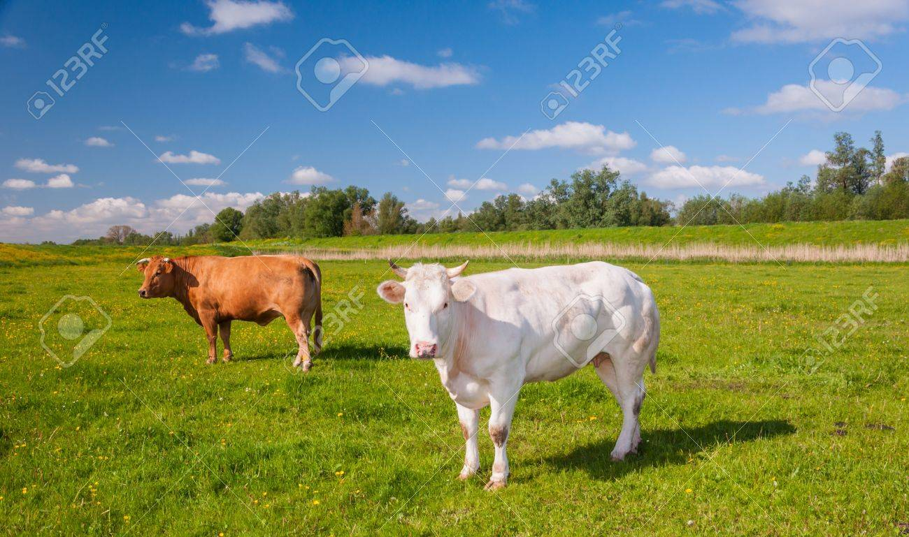 White and brown cows are standing on grass next to a Dutch dike. Stock Photo - 13667275