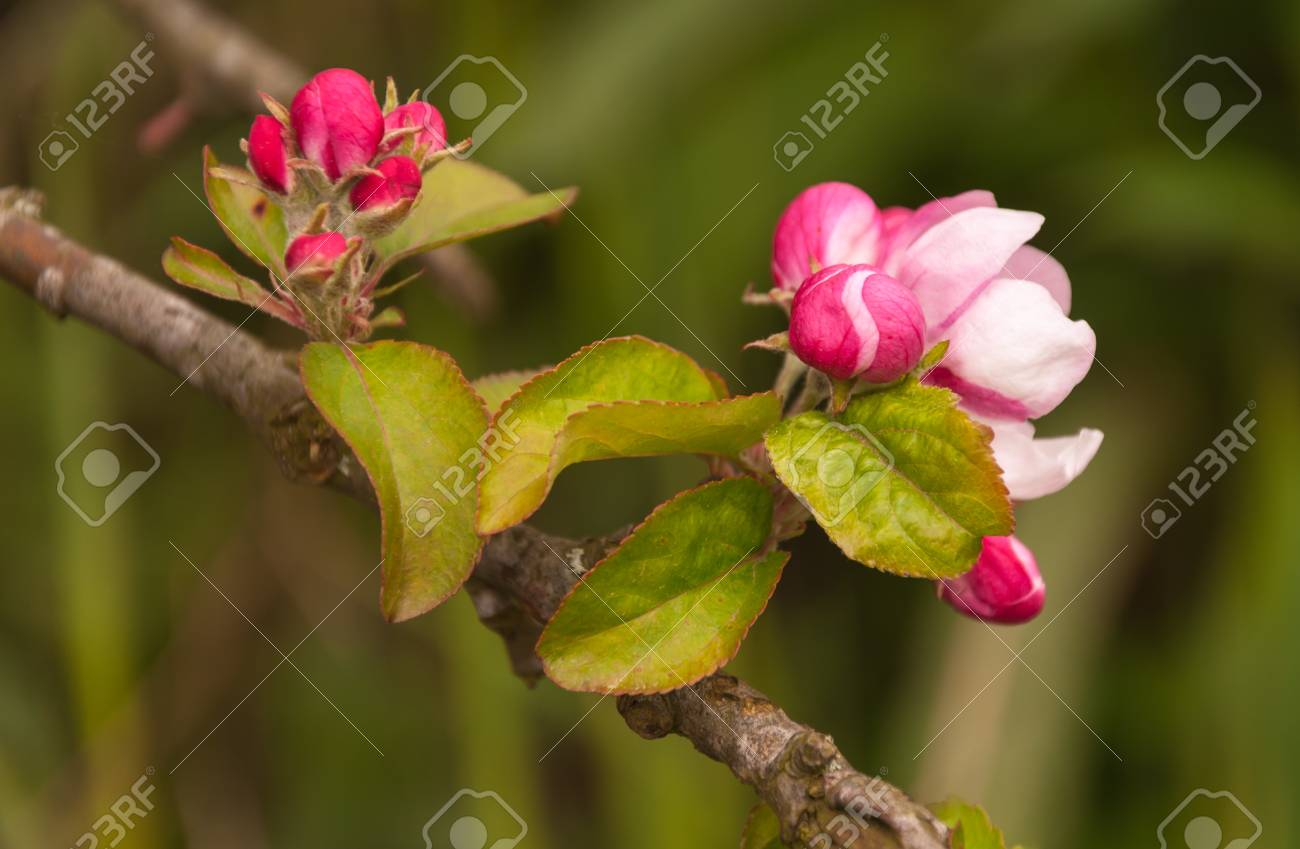 Buds and flowers of an old and wild apple tree in the Netherlands Stock Photo - 13693020
